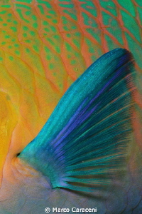 parrot fish fin by Marco Caraceni 